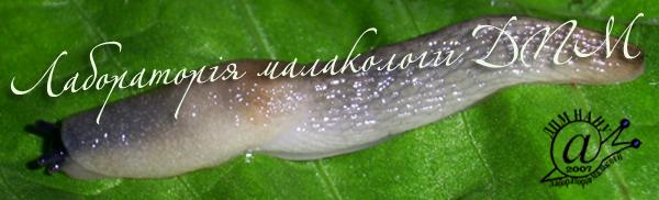 Krynickillus melanocephalus. Фотография 7