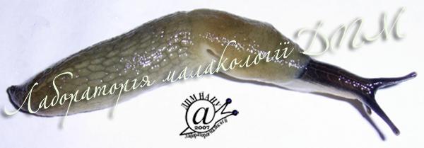 Krynickillus melanocephalus. Фотография 9