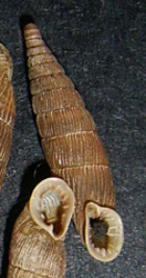 L. plicata. Фотография 25