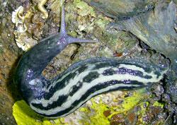 Моллюск июля среди наземных моллюсков - Limax cinereoniger (2013 р.)