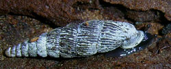 Macrogastra latesriata (A. Schmidt, 1857)