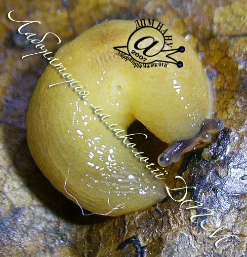 Malacolimax tenellus. Фотография 4