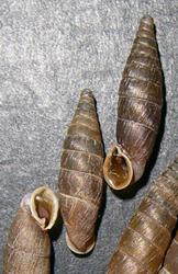 Mentissa canalifera (Rossmässler, 1836)