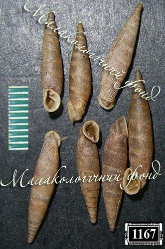 Mentissa gracilicosta. Фотография 11