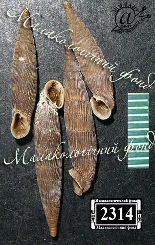 Mentissa gracilicosta. Фотография 15