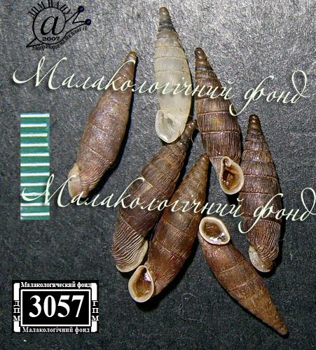 Mentissa gracilicosta. Фотография 17