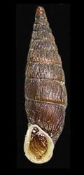 M. gracilicosta. Фотография 28