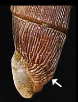 M. gracilicosta. Фотография 32