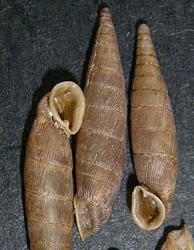 M. gracilicosta. Фотография 12