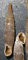 M. gracilicosta. Фотография 16