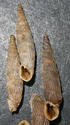 M. gracilicosta. Фотография 22