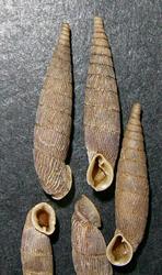 M. gracilicosta. Фотография 24