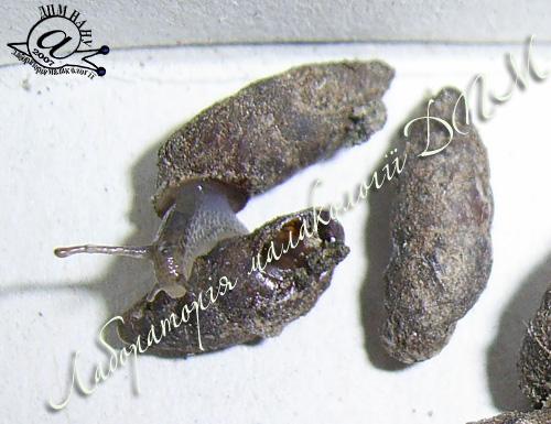 Merdigera obscura. Фотография 27