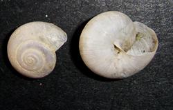 равлик-монах чагарниковий - M. fruticola