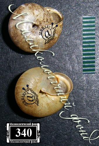 Monachoides incarnata. Фотография 7
