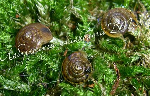 Monachoides vicina. Фотография 26
