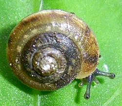 M. vicina. Фотография 15