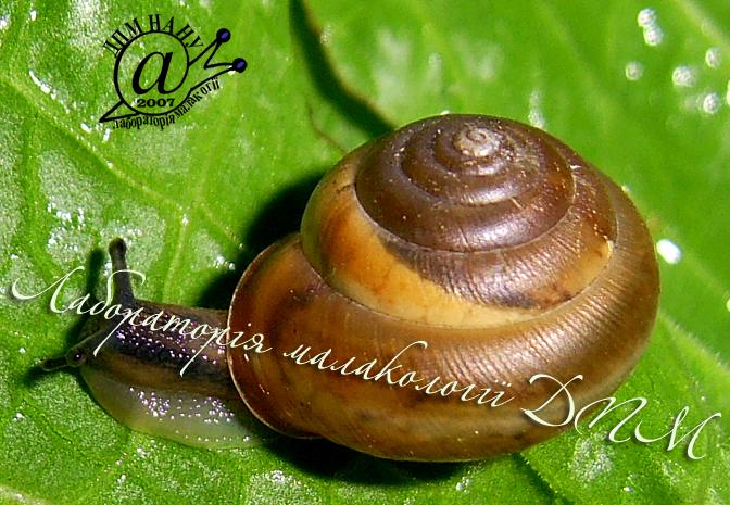 Monachoides vicina. Фотография 10
