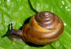 Monachoides vicina (Rossmässler, 1842)