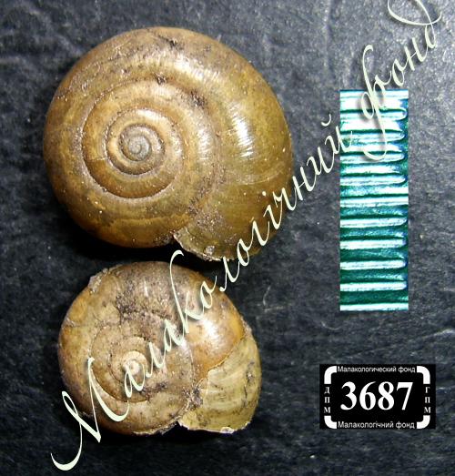 Oxychilus draparnaudi. Фото 52