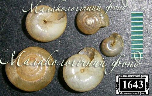 Oxychilus glaber. Фотография 6