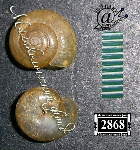 Oxychilus glaber. Фотография 8