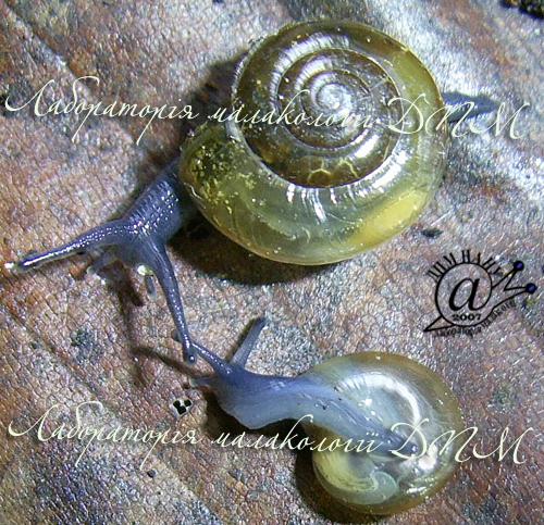 Oxychilus glaber. Фотография 4