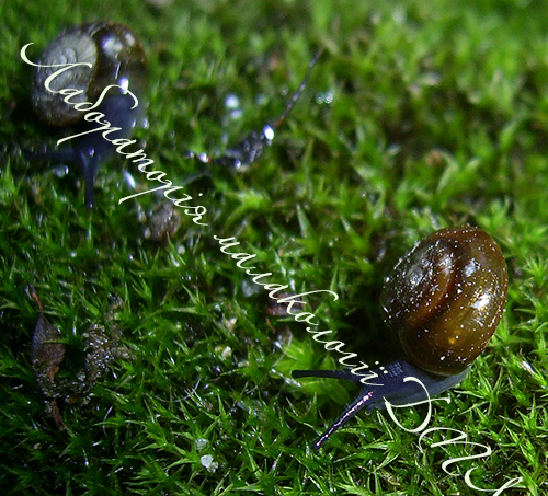 Oxychilus translucidus. Фотография 14