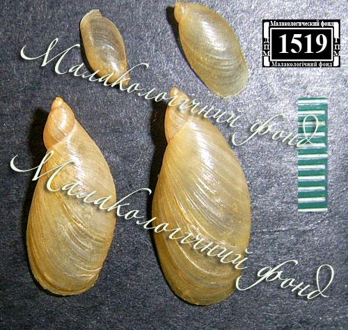 Oxyloma elegans. Фотография 10