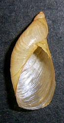 Oxyloma elegans (Risso, 1826)