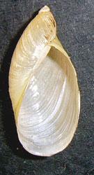 O. elegans. Фотография 17