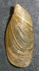 O. elegans. Фотография 19