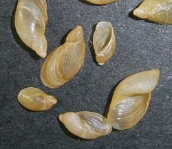 O. elegans. Фотография 23