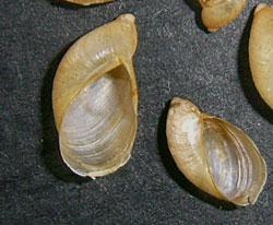O. elegans. Фотография 25