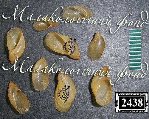 Oxyloma elegans. Фотография 26