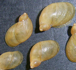 Oxyloma sarsii (Esmark, 1886)