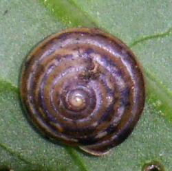 P. bidentata. Фотография 9