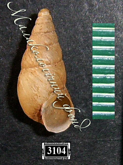 Peristoma merduenianum. Фотография 8