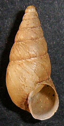 P. merduenianum. Фотография 9