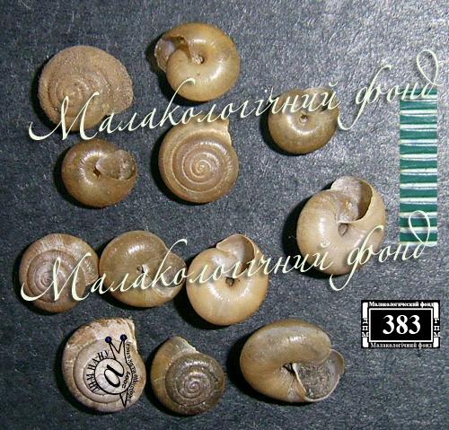 Pseudotrichia rubiginosa. Фотография 13