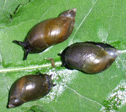 Succinea putris (Linnaeus, 1758)
