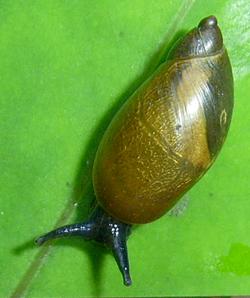 Молюск листопада серед наземних молюсків - Succinea putris (2014 р.)