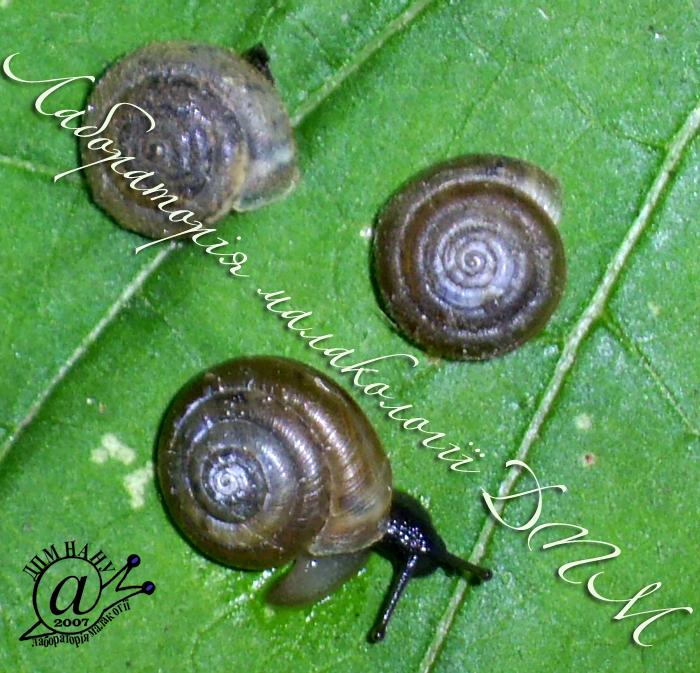 Trochulus hispidus. Фотография 9