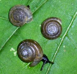 T. hispidus. Фотография 10