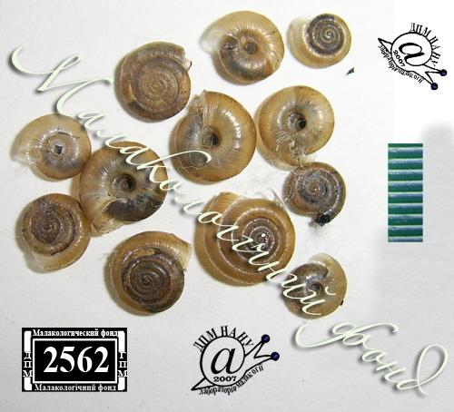 Trochulus hispidus. Фотография 23