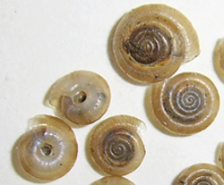T. hispidus. Фотография 20