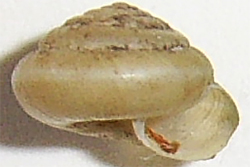 T. hispidus. Фотография 22