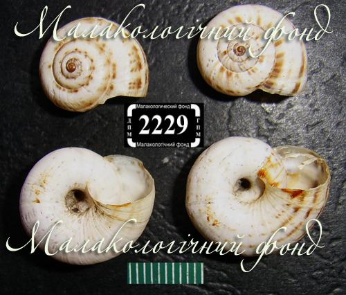 Xeropicta derbentina. Фотография 16