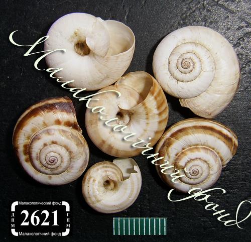 Xeropicta derbentina. Фотография 17