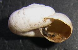 X. derbentina. Фотография 19